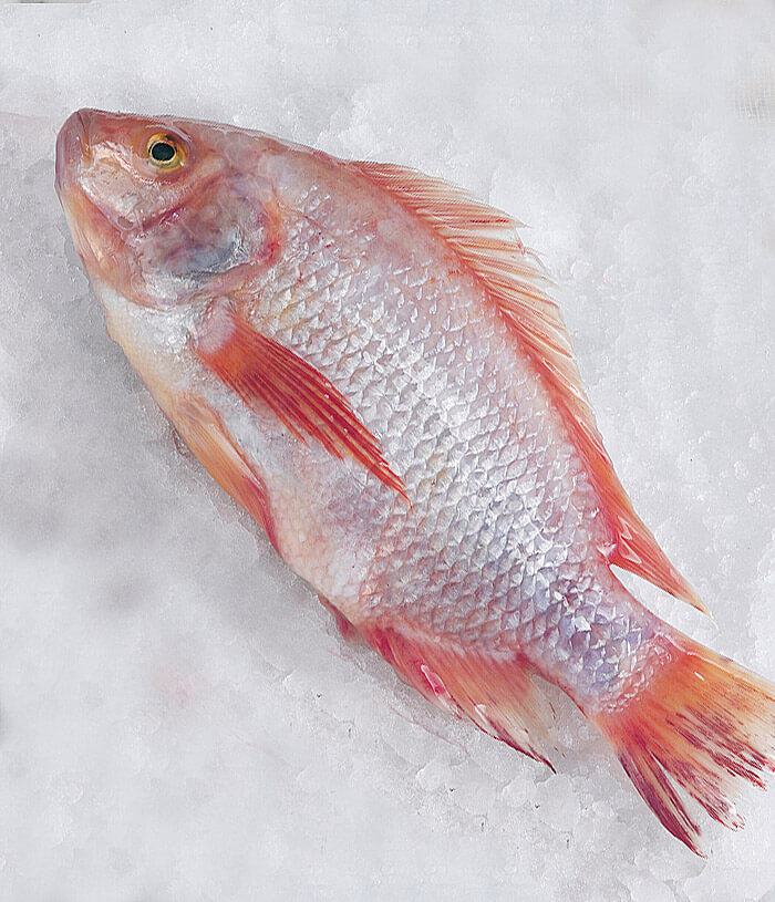 Red Snapper GG