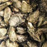 fresh canada oyster
