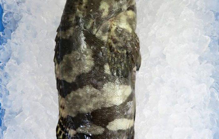live grouper
