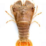 Slipper Lobster